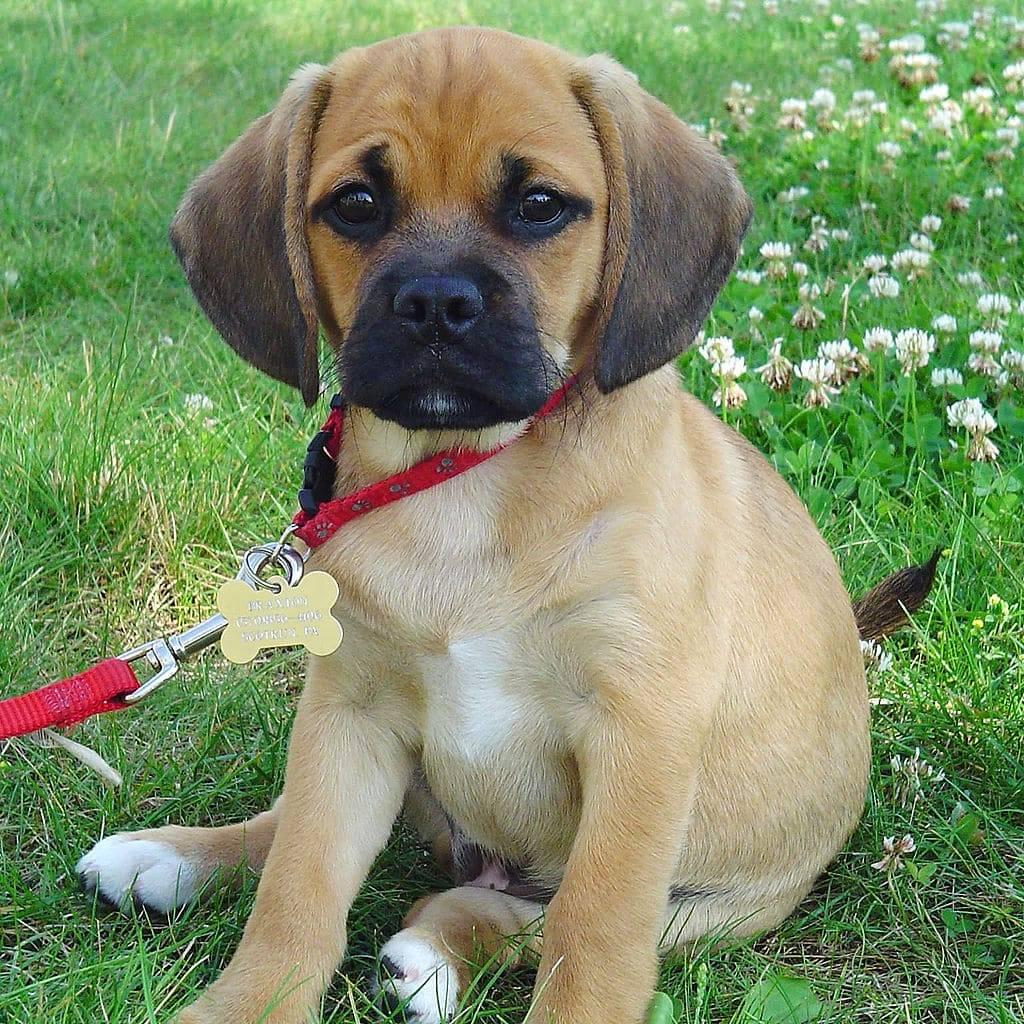 Характеристика собак породы пагль с отзывами и фото