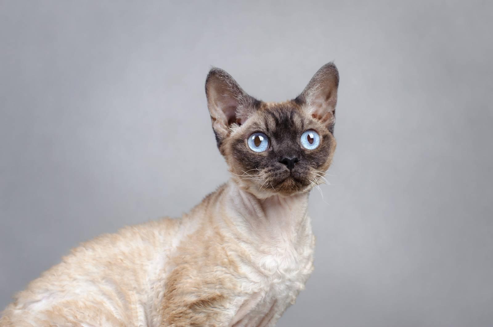 Модные породы кошек: топ-20 популярных пород с фотографиями