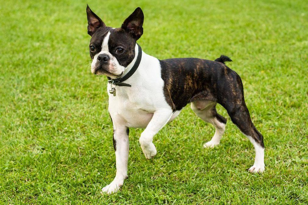 Собаки компаньоны – 12 популярных пород  для квартиры