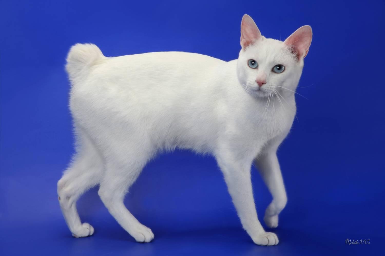 Японский бобтейл кошка. описание, особенности, уход и цена японского бобтейла