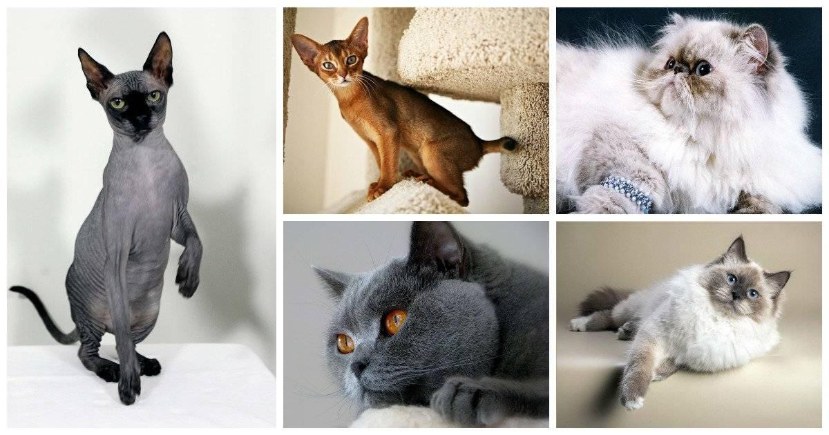 19 лучших пород кошек - рейтинговое агенство simplerule