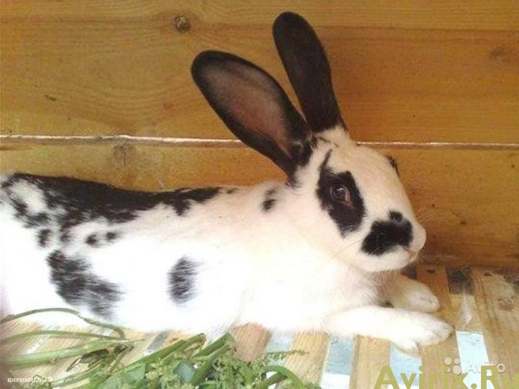 Кролики породы бабочка: описание, разведение и уход