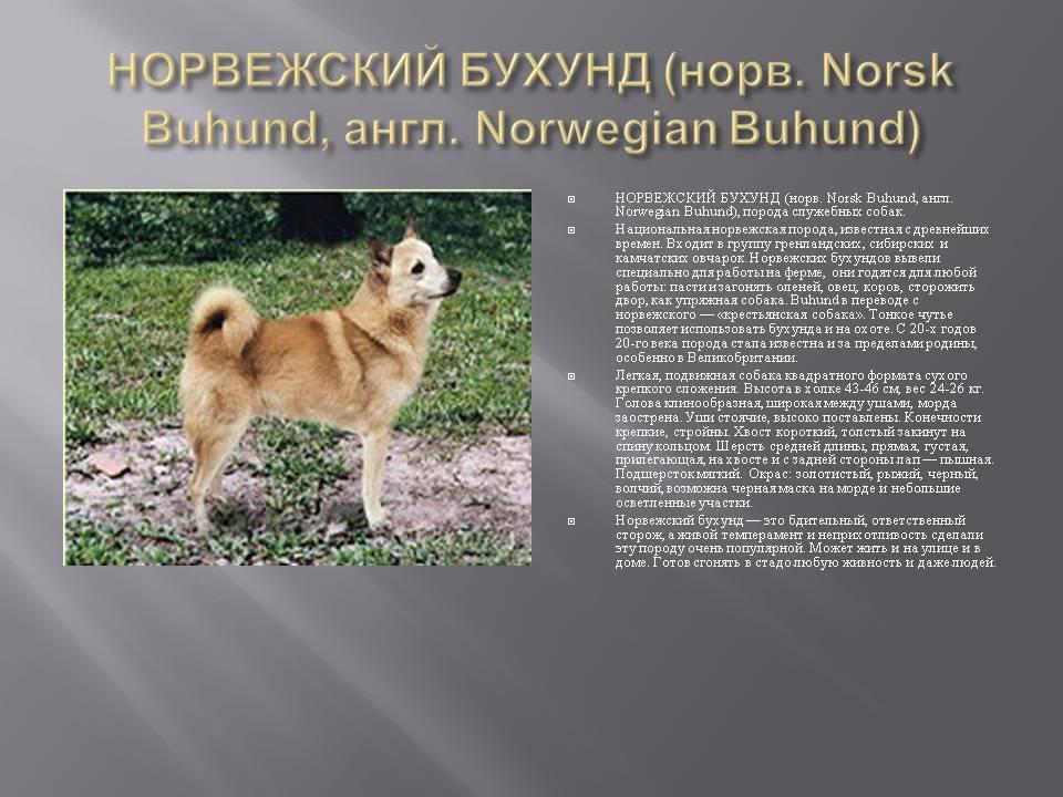 Норвежский элкхаунд — описание породы и из какой страны происходит