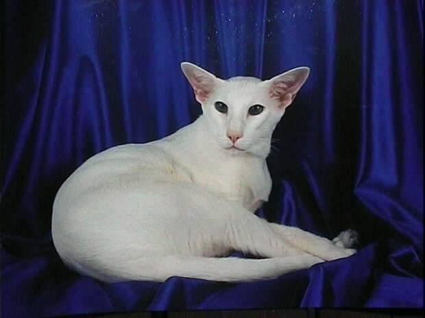 Форин вайт: описание породы, особенности здоровья, уход за кошкой