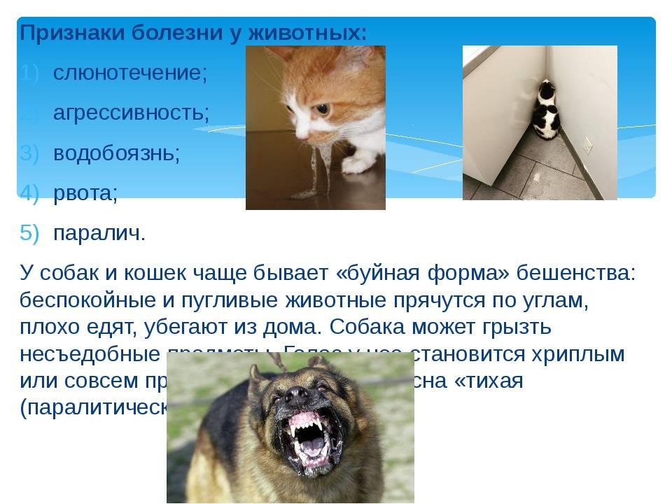 Бешенство у кошек: первые признаки и симптомы, заражение человека бешенством через укус больного животного