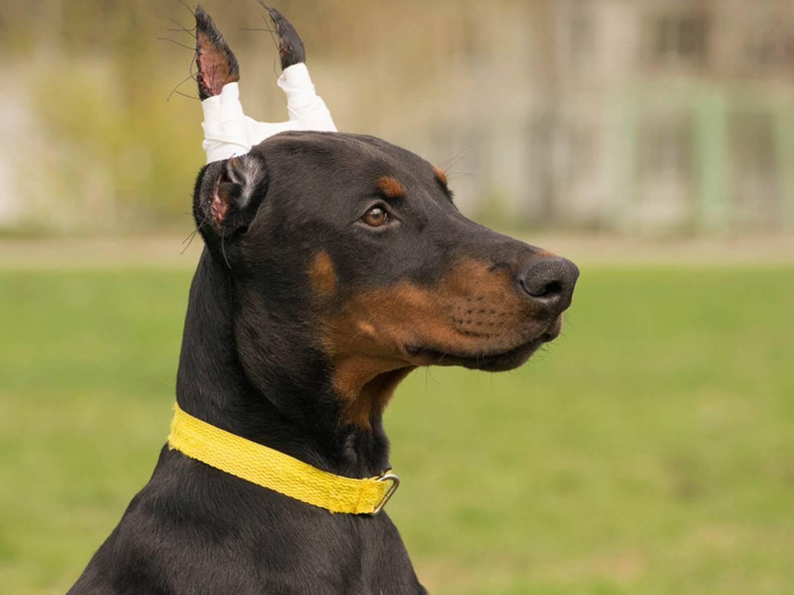 Купирование ушей и хвостов у собак. почему это плохо - догфренд блог