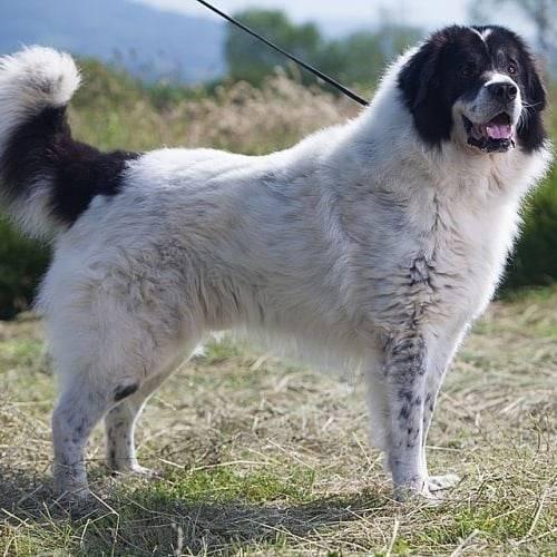 Самая лучшая служебная собака – немецкая овчарка