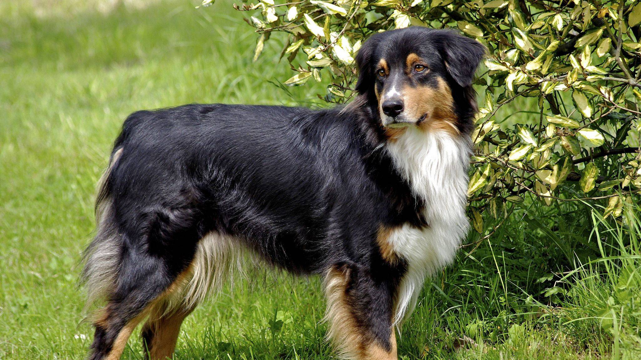 Английская овчарка: фото и описание, характеристики породы, особенности воспитания и содержания