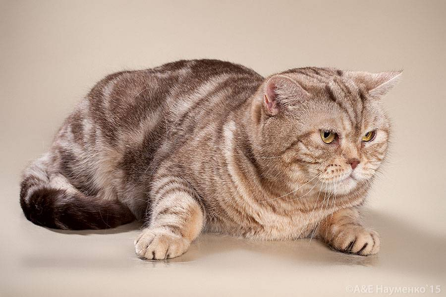 Британские короткошерстные кошки: описание породы, характер, здоровье