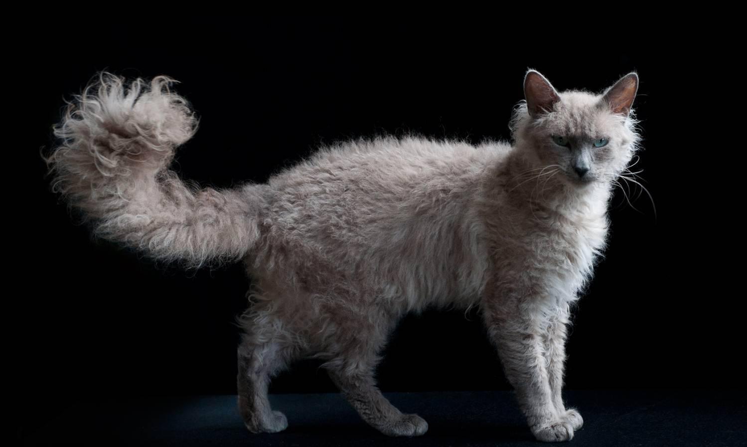 Ла-перм: описание породы кошек, фото и видео материалы, отзывы о породе