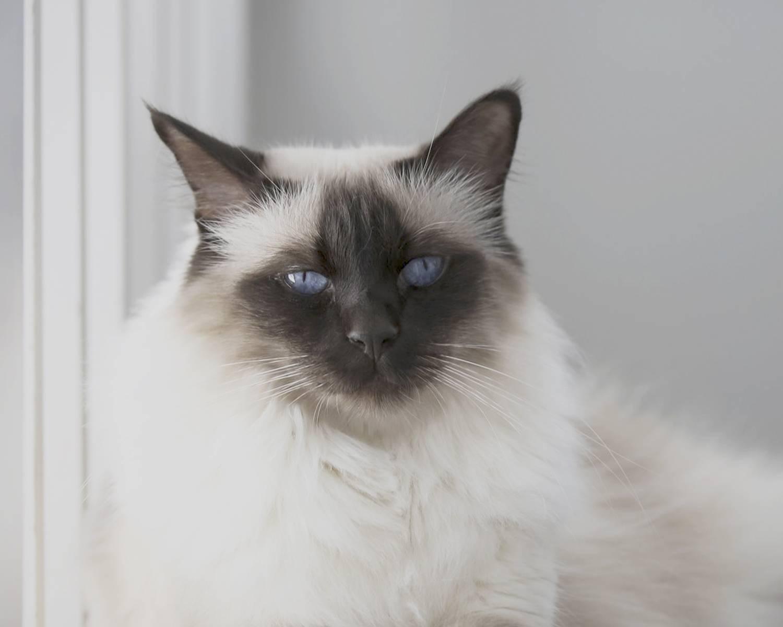 Балинезийская кошка: описание породы, уход и содержание