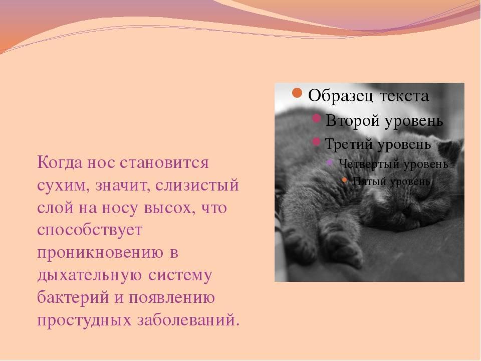 Сухой нос у кошки (здоровой и больной) - физиологическое и патологическое состояние обонятельного органа