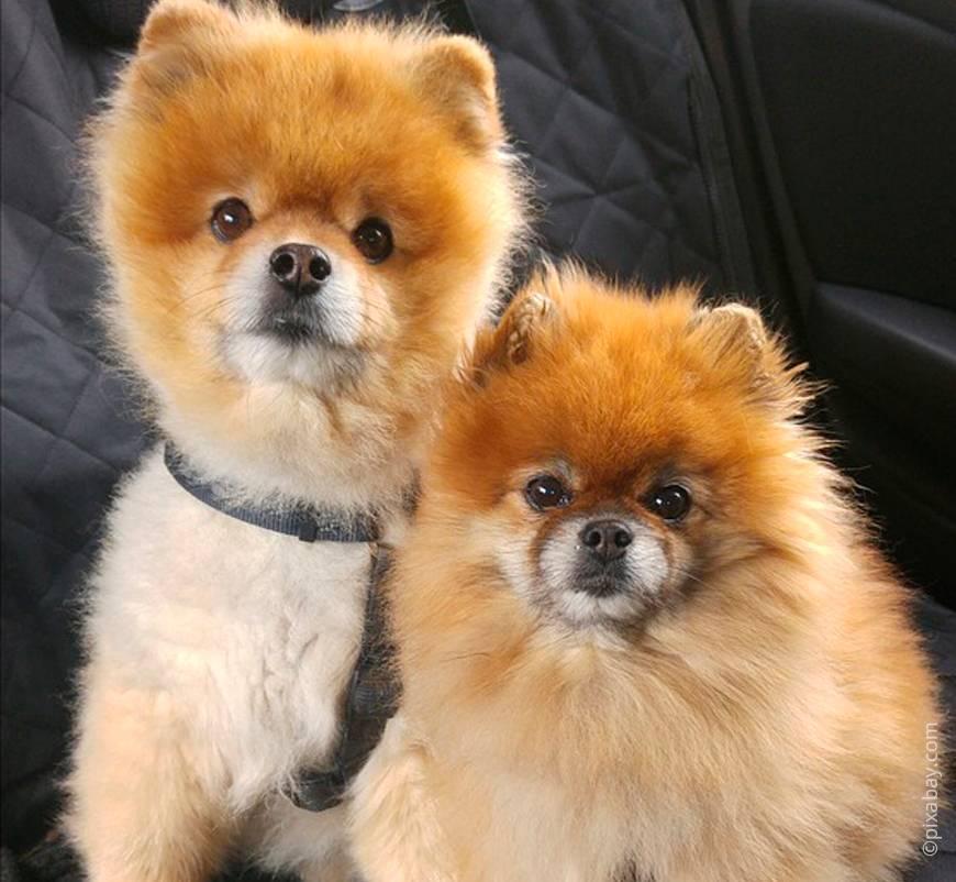 Отзывы владельцев о породе собак «померанский шпиц»: особенности характера питомца и как правильно ухаживать
