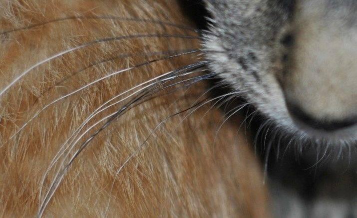 Усы у кошек и котов: как правильно называются и зачем нужны, что будет, если подстричь и почему выпадают или становятся ломкими