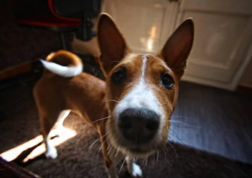 Не лает, но кусается: особенности собак породы басенджи