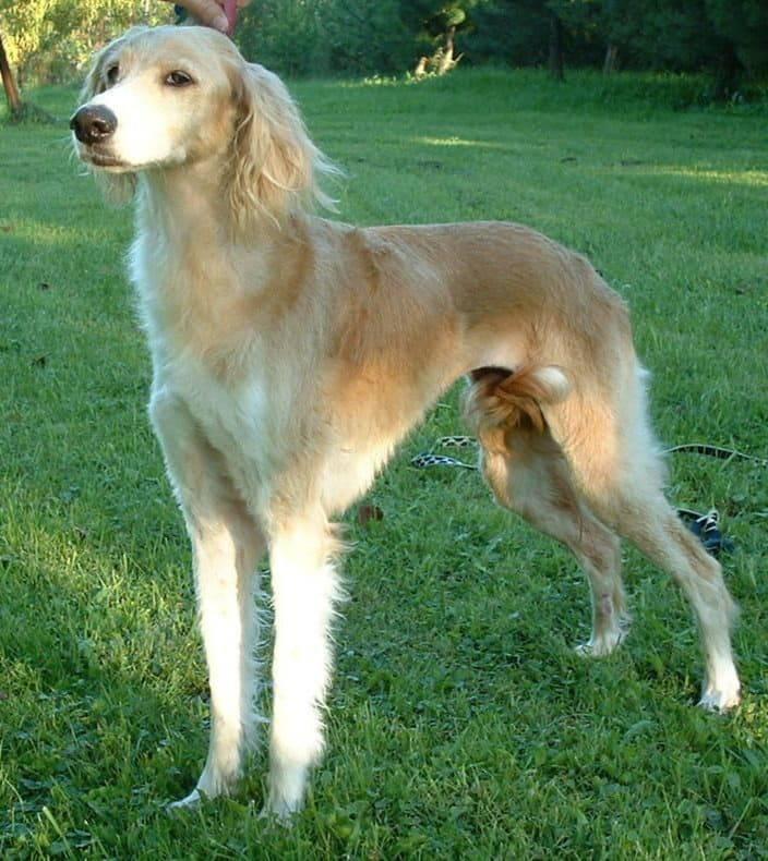 Изящная, красивая и грациозная персидская борзая (газелья собака) – салюки