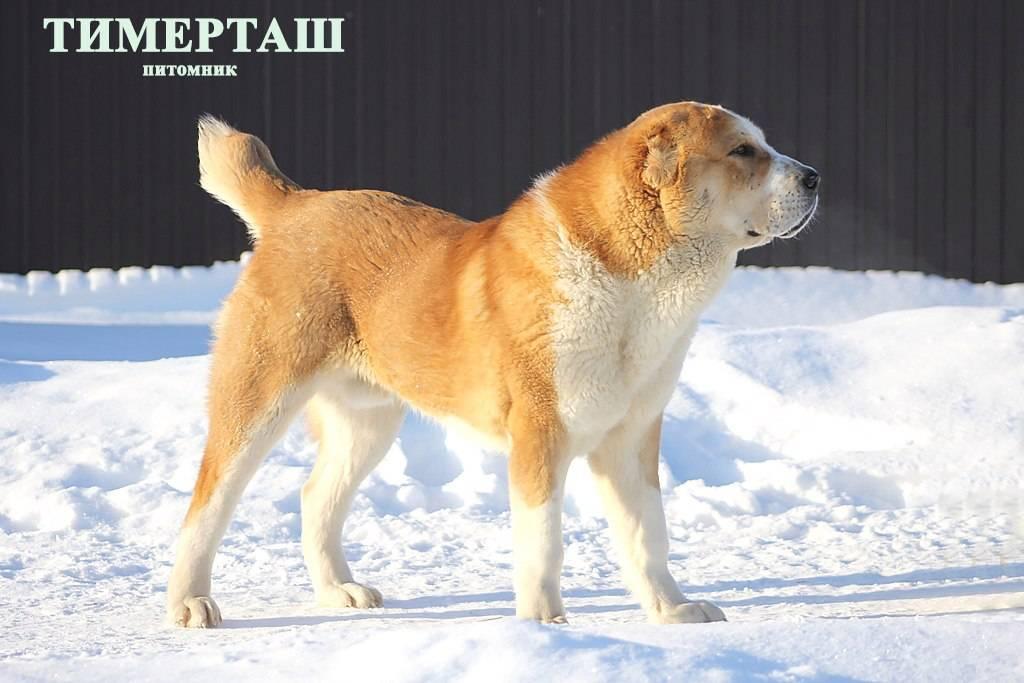 ᐉ как выбрать кличку для алабая, примеры кличек со значением - ➡ motildazoo.ru