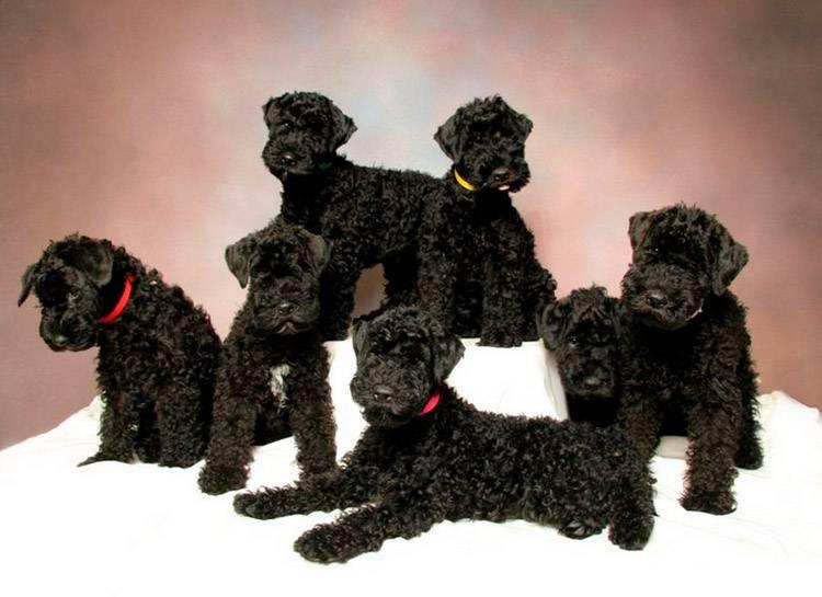 Основные сведения о керри-блю-терьерах: размеры, характер, содержание пса