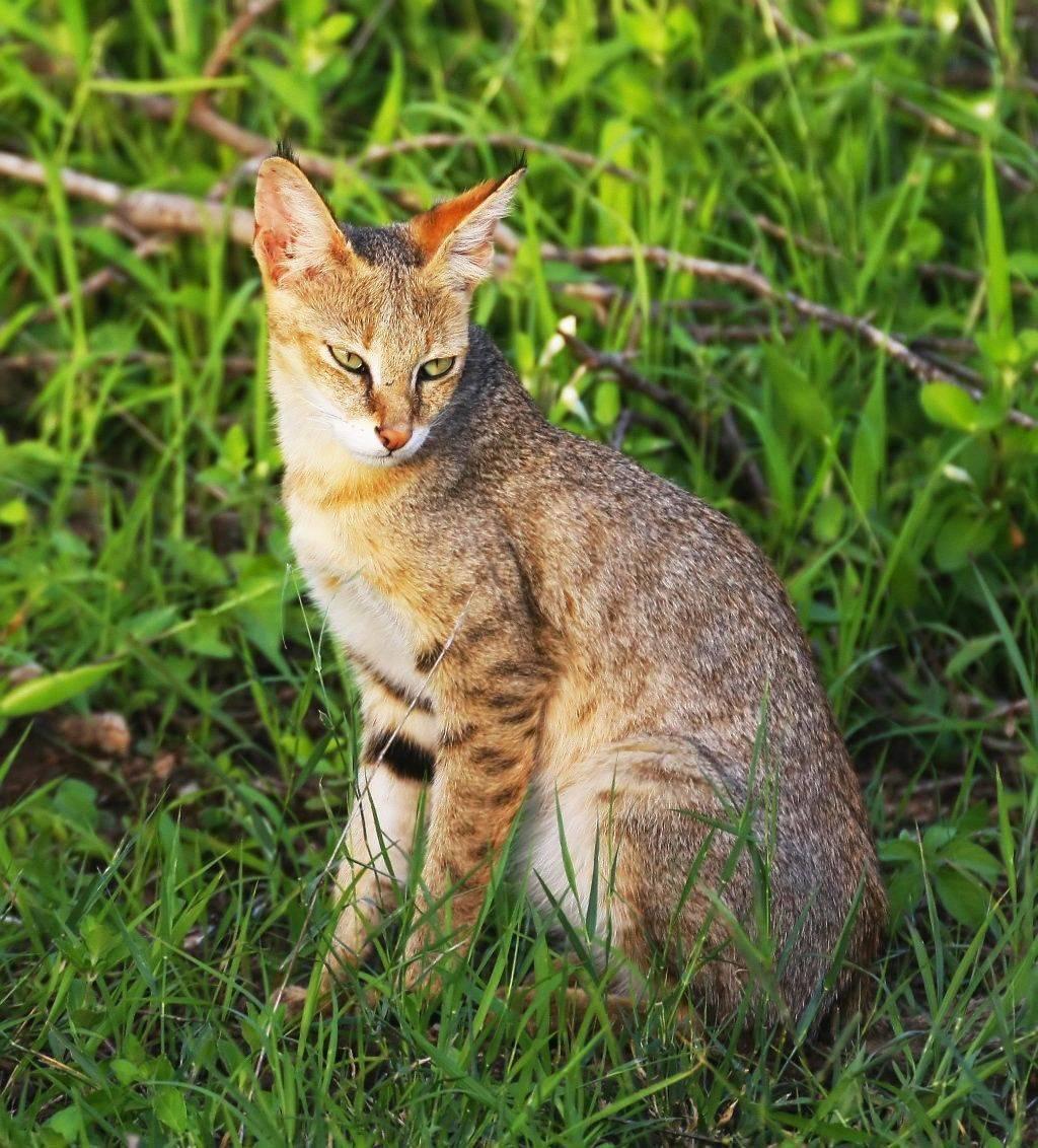 Камышовая кошка (хаус, болотная кошка)