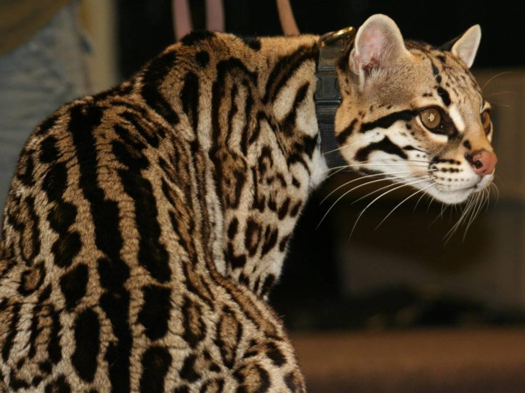 Описание азиатской леопардовой кошки (алк): окрас, характер и уход