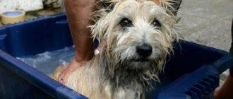 Почему у собаки пахнет из ушей