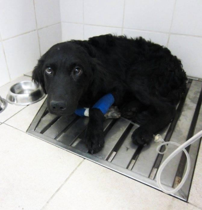 Инфекционные артриты (иа) собак – диагностика и лечение