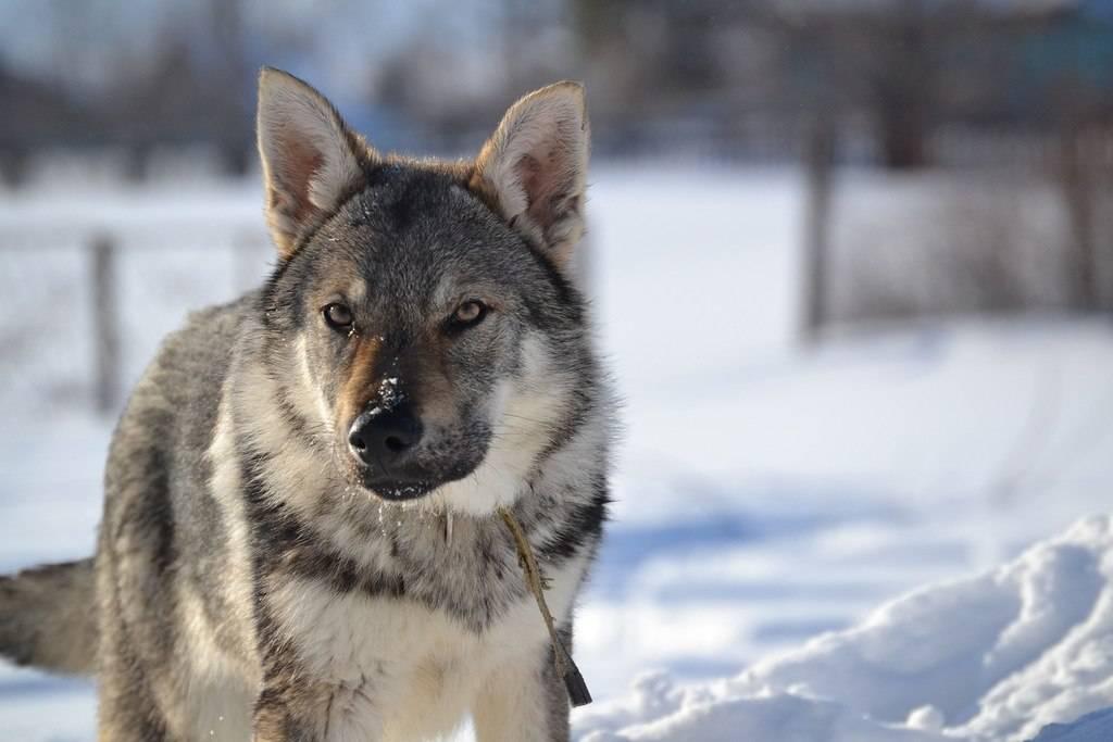 Порода волкособ: фото и описание, характер собаки, цена щенков