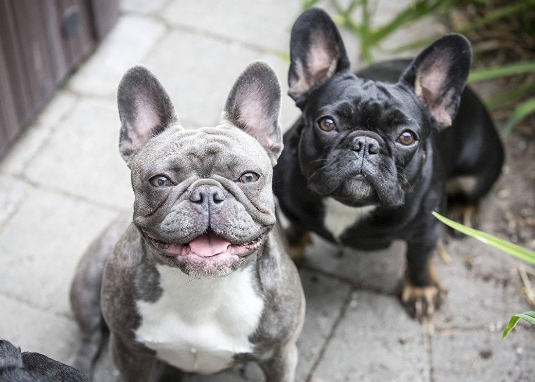 Французский бульдог - все о породе собаки