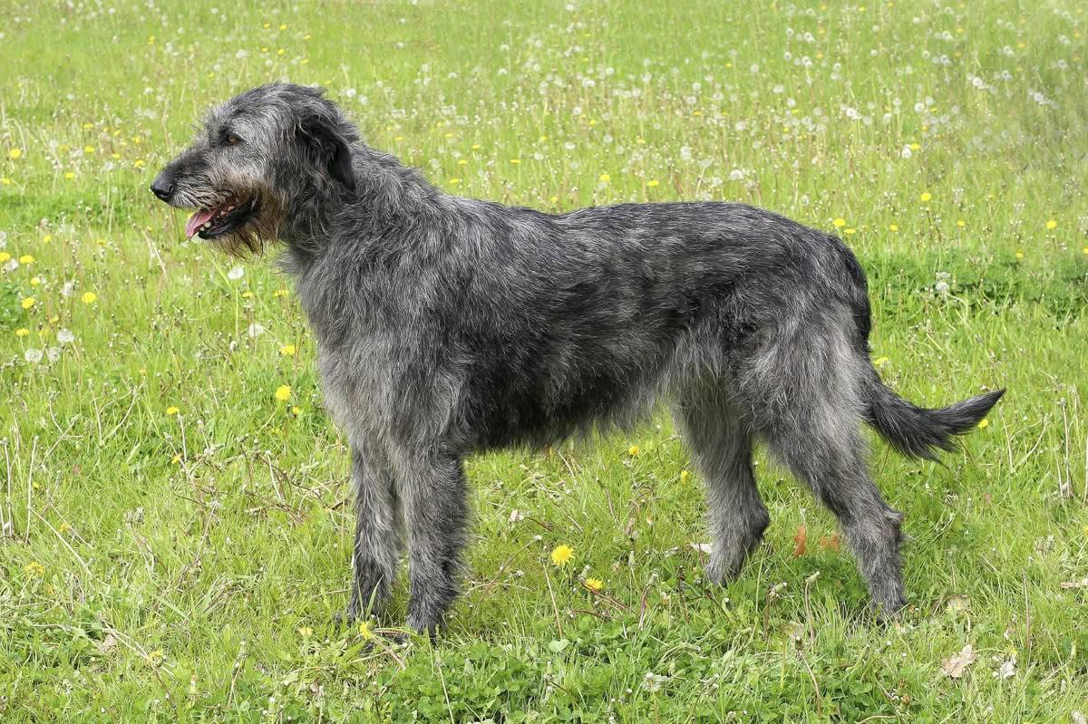 Ирландский волкодав: фото и видео породы собак, характер ирландской борзой и стандарт породы