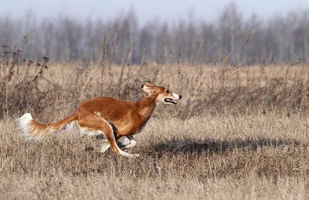Русская псовая борзая (70 фото): стандарт породы собак, описание ухода за щенками. сколько живут?