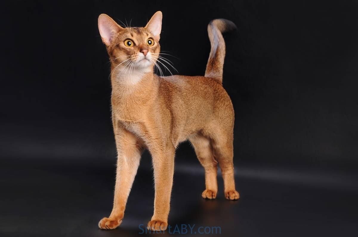 Абиссинская порода кошек: описание породы, характер, содержание и уход, отзывы владельцев
