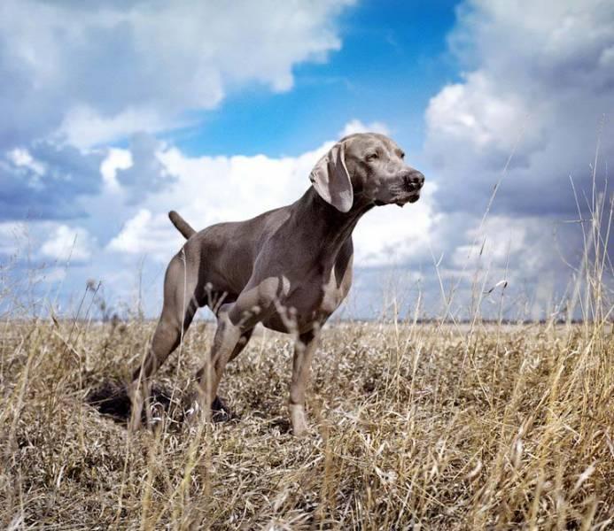 Породы легавых собак с фото и названиями