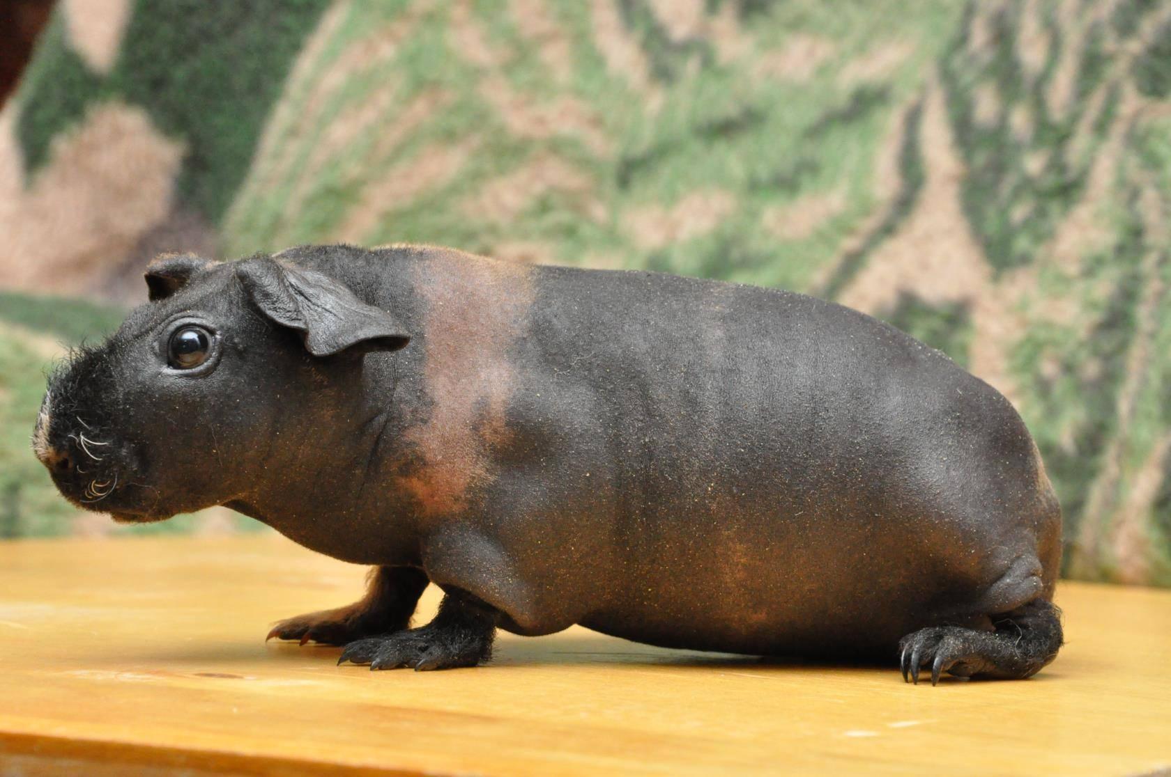 Лысая морская свинка – выбор любителей позитива и экзотики