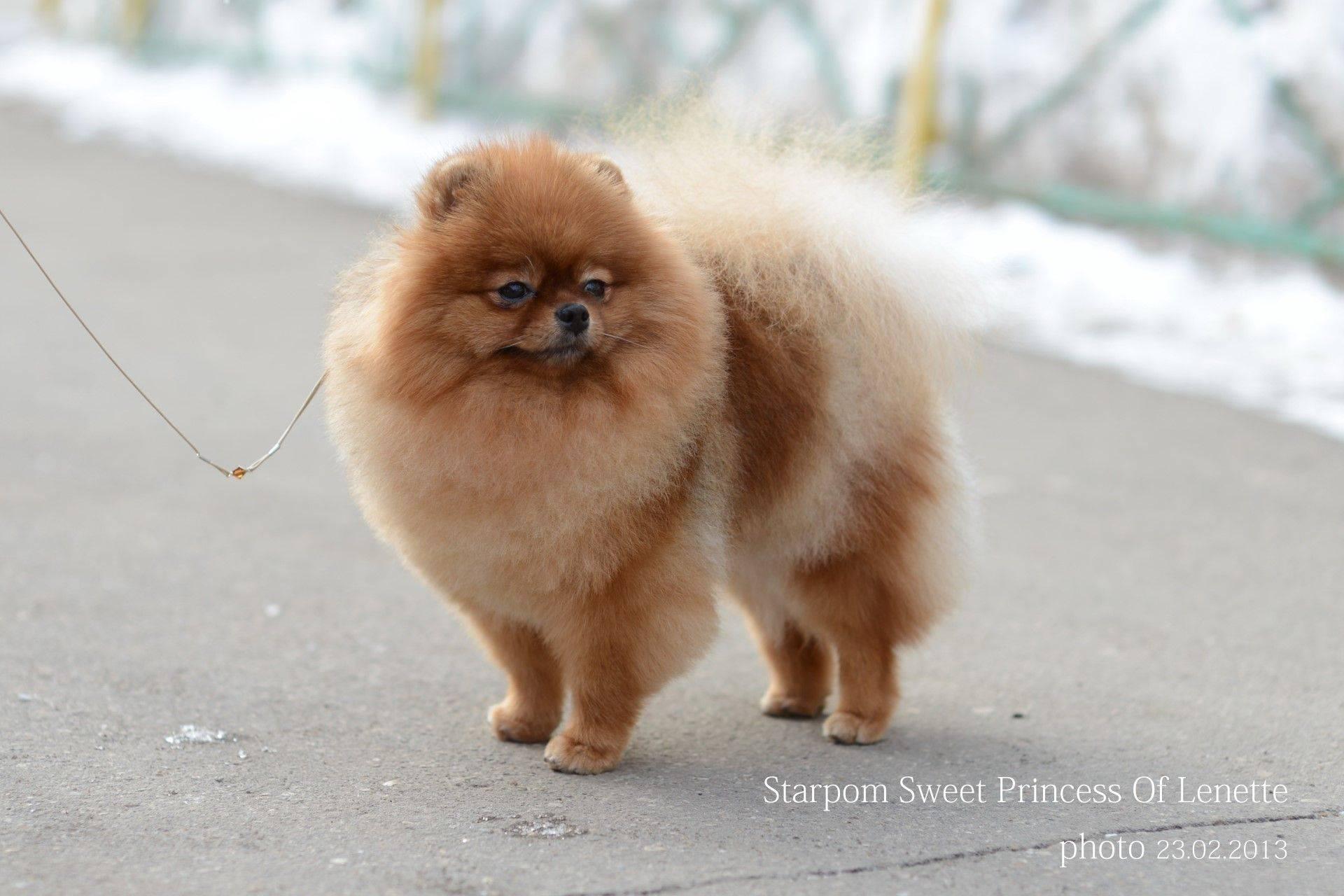 Померанский шпиц (мишка) – карликовая собака медвежьего типа, описание породы, характеристика, окрасы