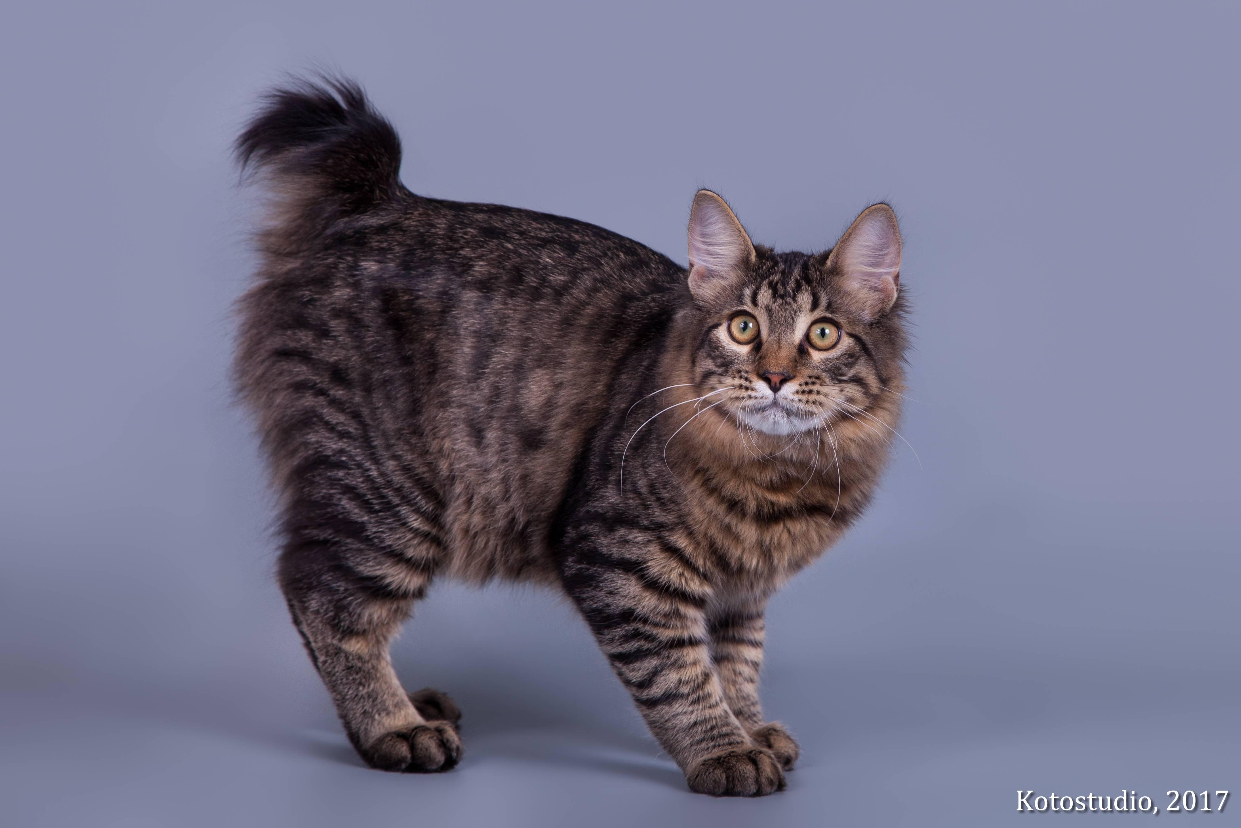 Меконгский бобтейл: описание породы кошек, характер, фото