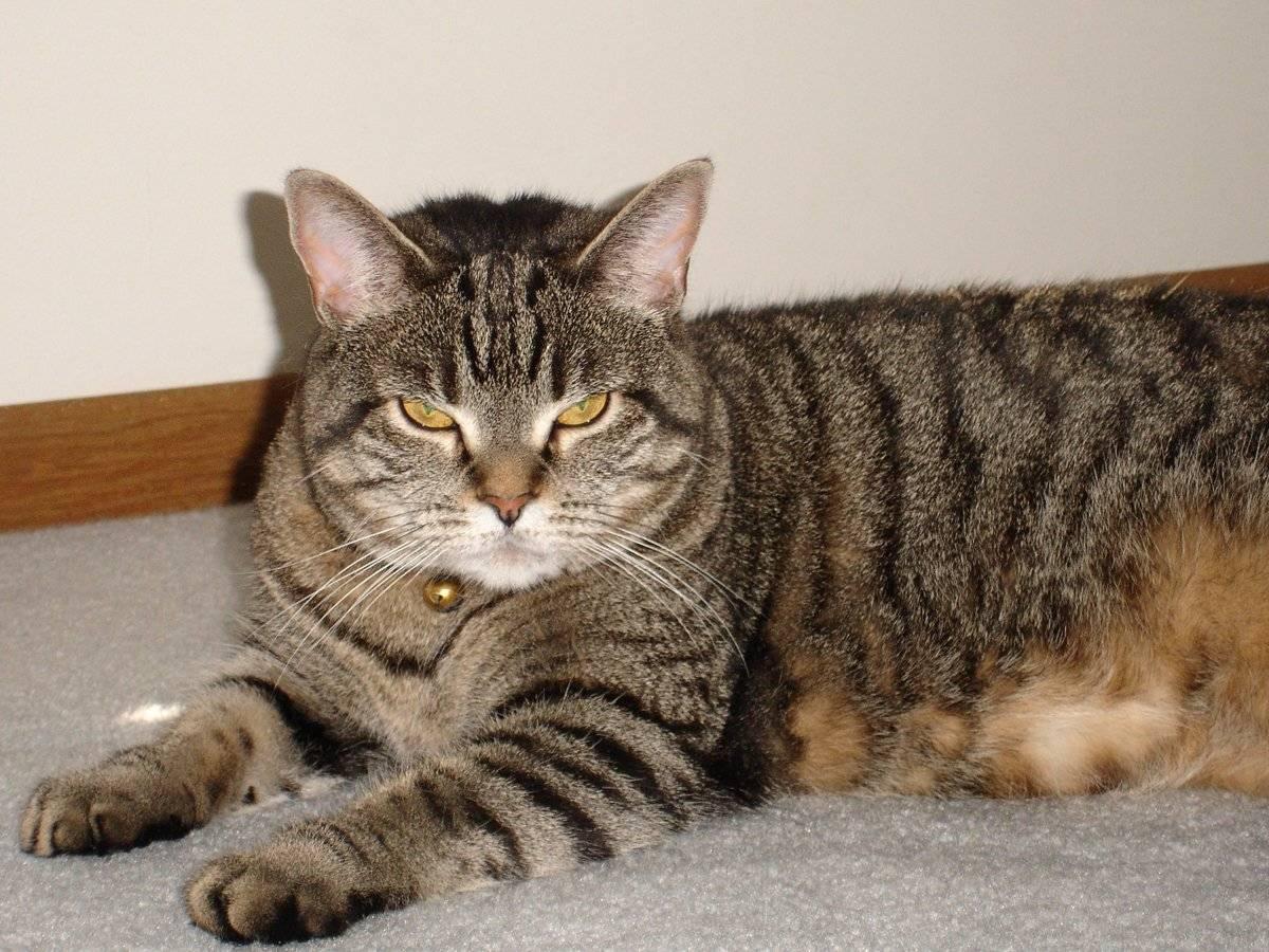 Ли хуа (дракон ли, ли мао) — описание породы кошек