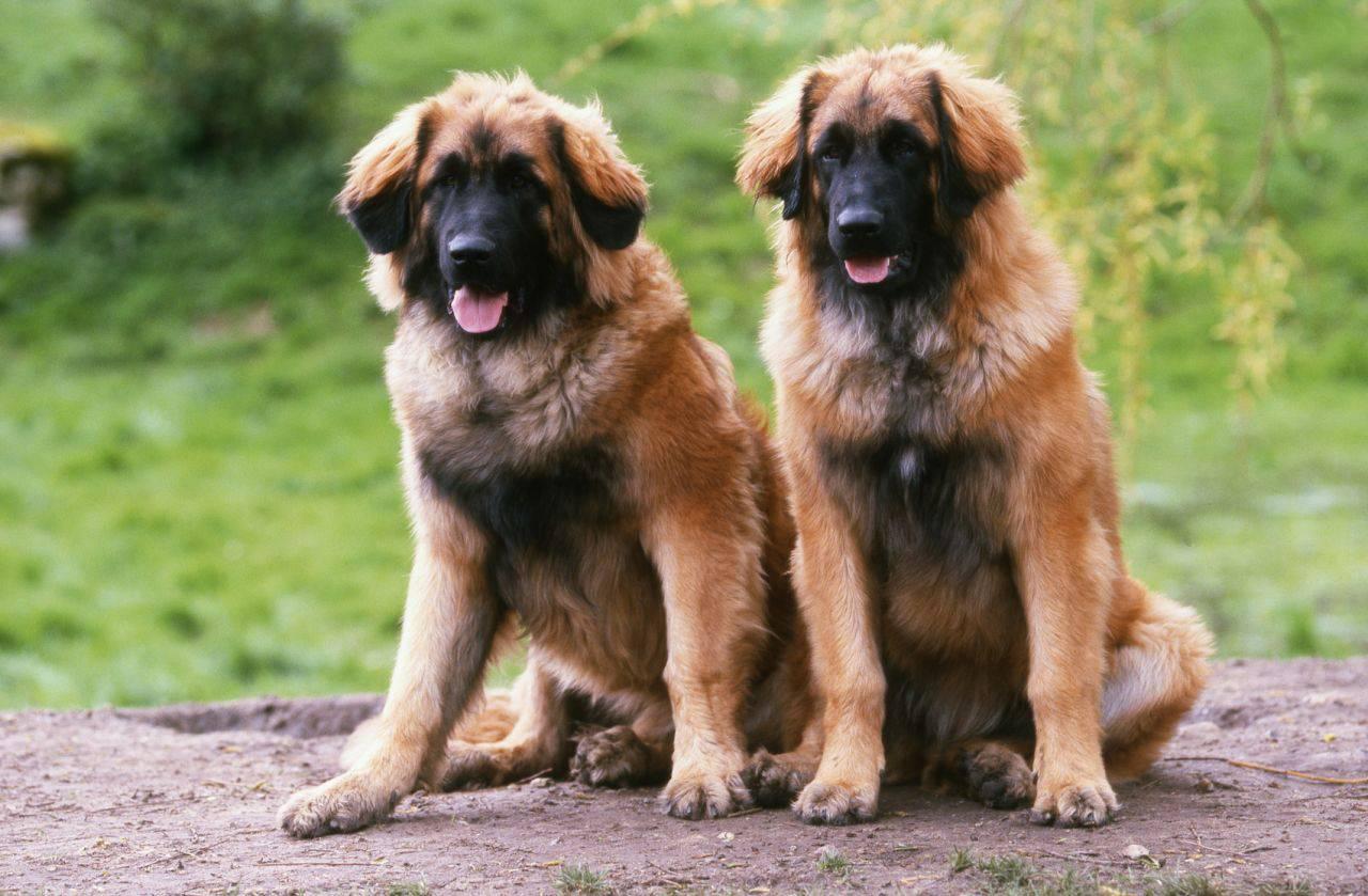 Леонбергер (66 фото): описание породы, вес по стандарту, характер собак. продолжительность жизни. содержание щенков. отзывы владельцев