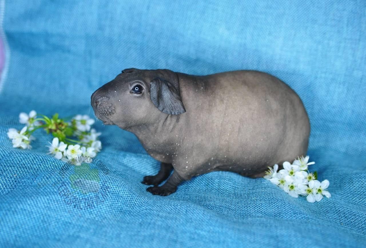 Лысые морские свинки: скинни и болдуин
