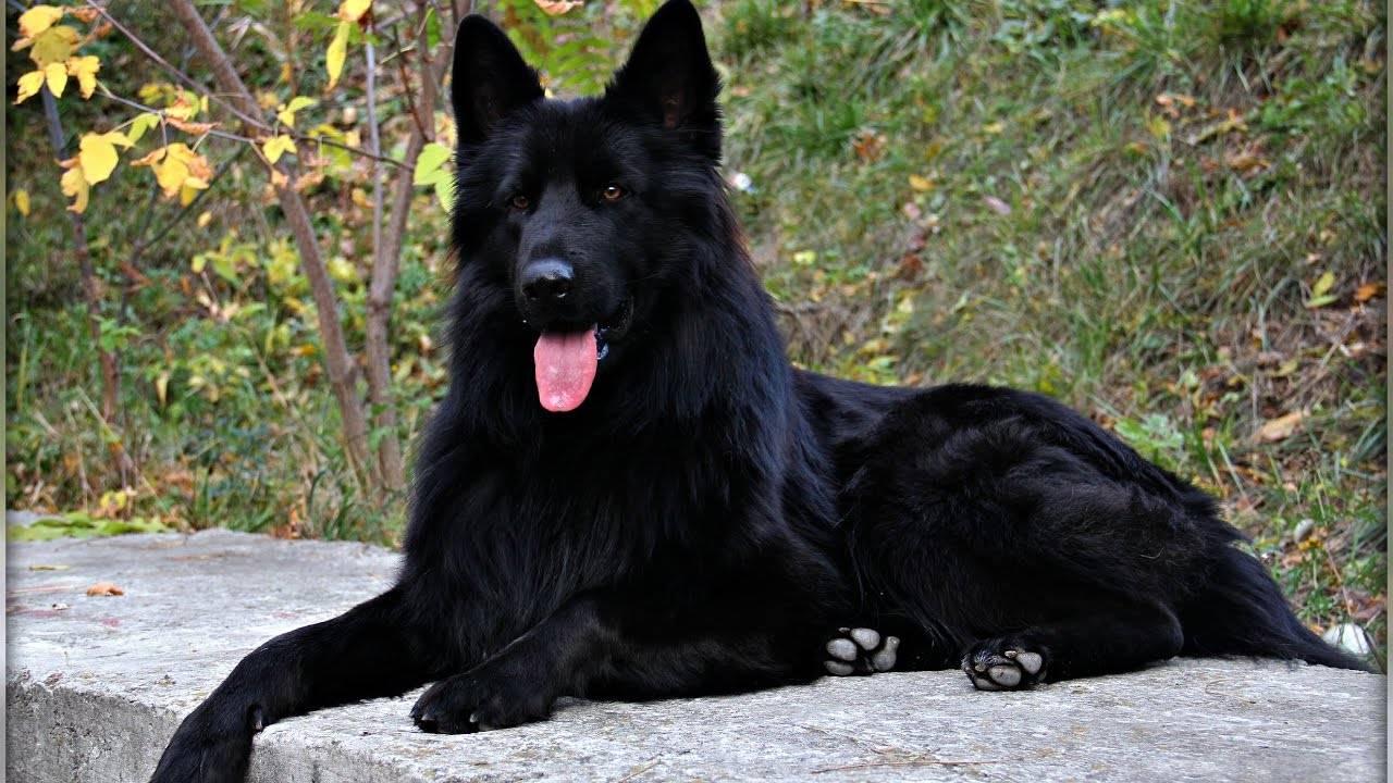 Красавица – черная немецкая овчарка: гладкошерстная и длинношерстная, фото, уход