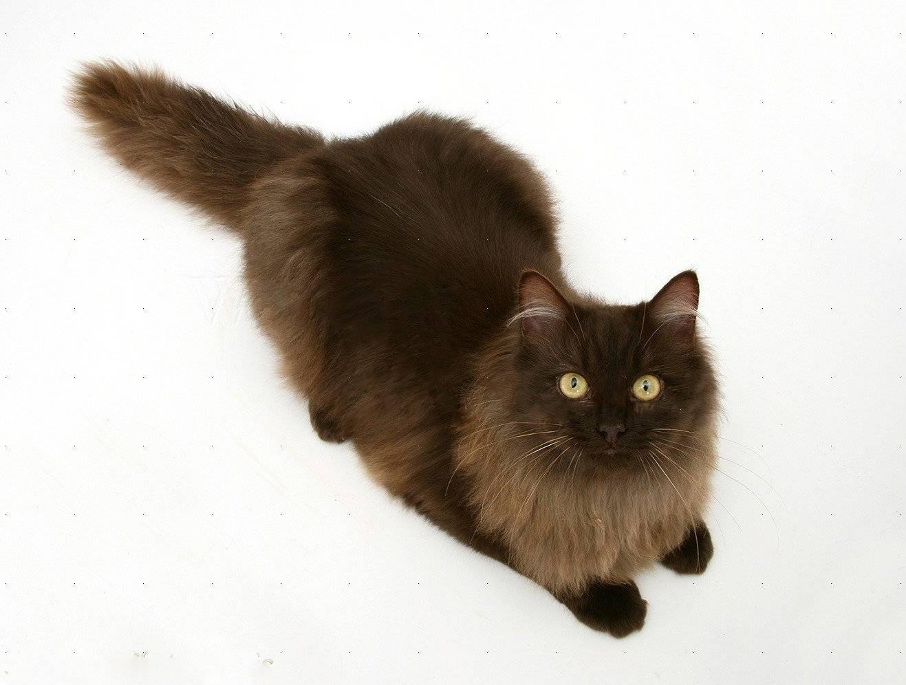 Йоркская шоколадная кошка: фото и описание породы