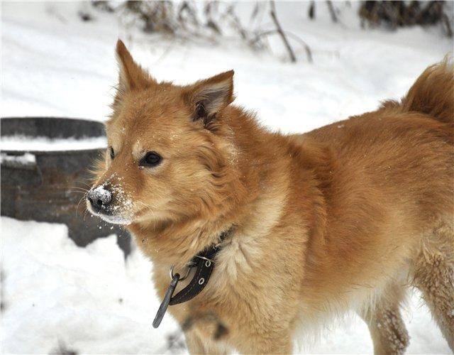 Собаки, похожие на лису (33 фото): маленькая рыжая собачка с короткими лапами, пушистая собака с большими ушами и другие породы
