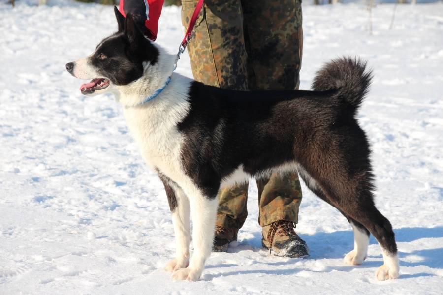 Медвежья карельская собака (42 фото): описание лайки, содержание породы, кормление и уход