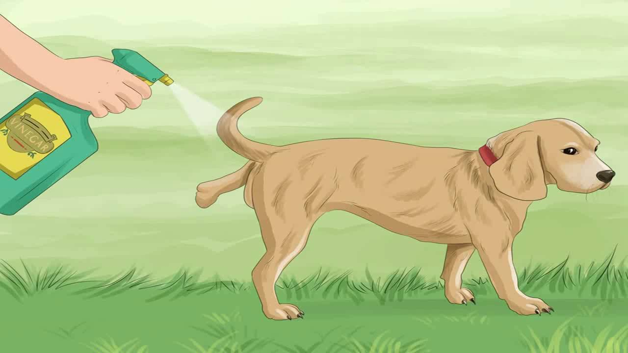 Что делать, если собака постоянно метит в квартире: порядок отучения питомца