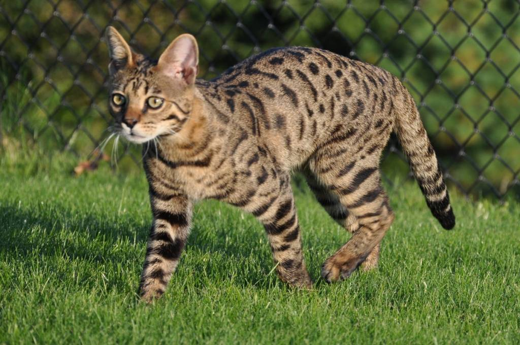 Самые дорогие кошки владивостока: от 50 до 600 тысяч рублей - primamedia
