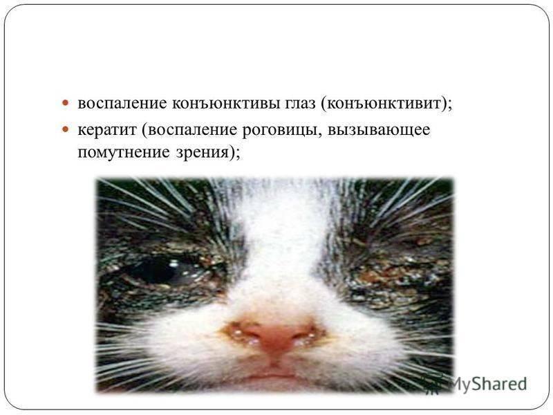 Инфекционный ринотрахеит у кошек, симптомы, лечение в россии