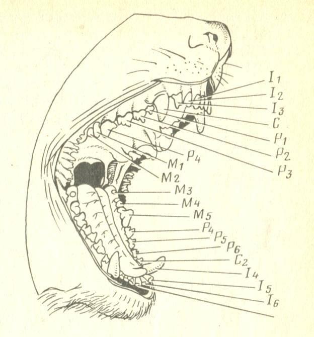 Клыки (см.зубы)