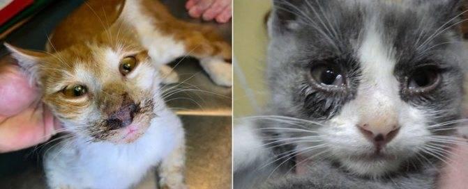 Ринотрахеит у кошек: симптомы и лечение