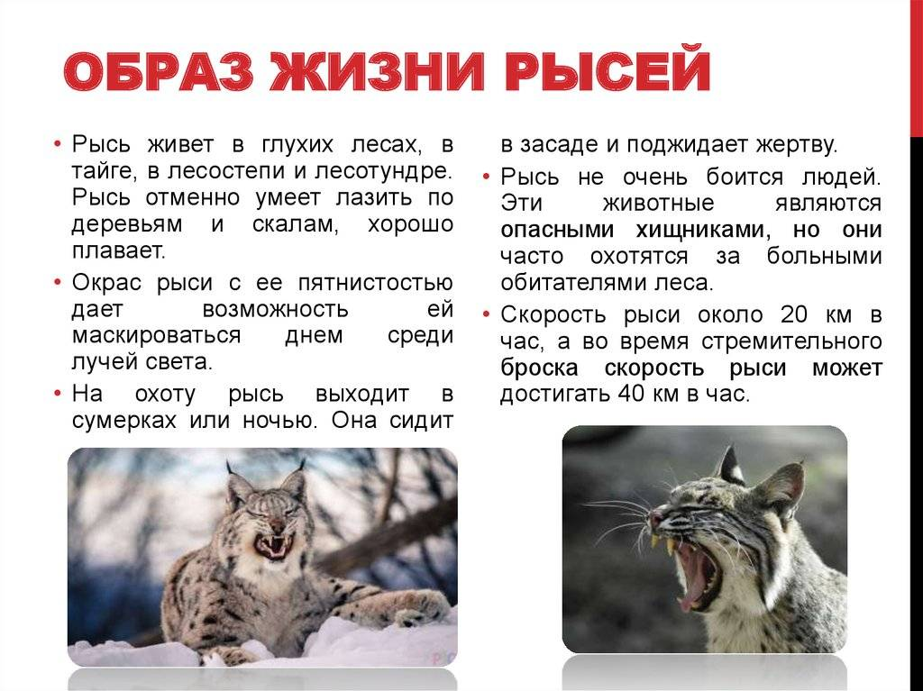 Пампасская или травяная кошка: особенности, образ жизни и среда обитания