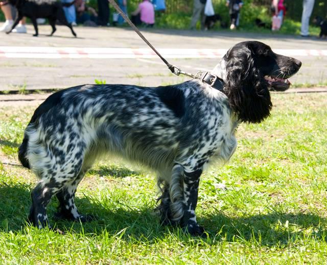 Русский охотничий спаниель - фото собаки. цены, отзывы, характер, описание породы от а до я