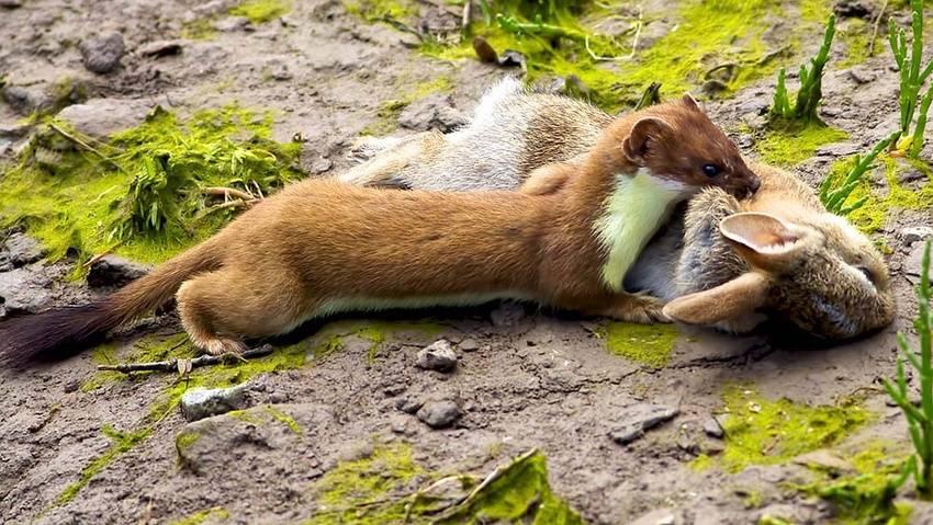 Зверек ласка описание. животное ласка: фото и описание, где живет и чем питается